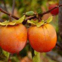Fall season: ripe kaki on branch